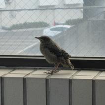 イソヒヨドリの雛が遊びに来た-鳥の話