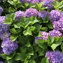 お引渡し-紫陽花の咲く頃に
