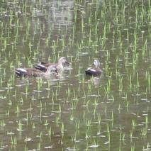 鴨が遊ぶ田んぼの隣で